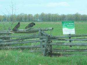 Manitoulin Vultures Waiting forBird Mortality May 9, 2012 (3)